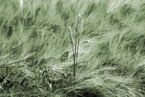 Weizen by Jens Berger