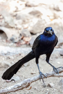 aggressive looking grackle by Craig Lapsley