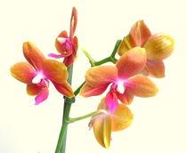 Orchidee von Kerstin Runge