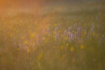Morgenwiese von Carsten Fischer