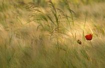 Mohnblumen von Carsten Fischer