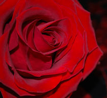 Red Rose by Julie  Callister