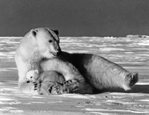 Vintage USA Alaska mother polar bear 1970s von blackwhitephotos