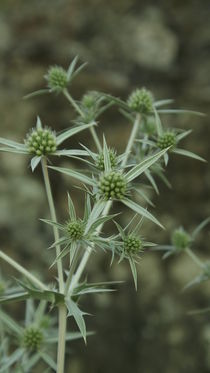 wild plant by Tijana Krstevska
