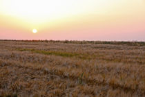 Sonnenuntergang über Getreidefeld by Wolfgang Dufner