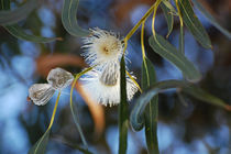 Eucalyphoria by Jean Booth