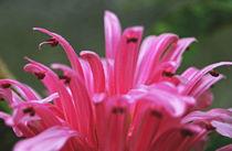Pink Brazilian Plume von Jean Booth