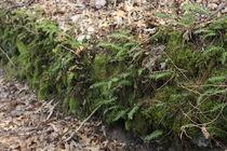 Ferns by Beth Billian (Azraeya)