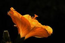 Hibiskusblüte by Wolfgang Dufner