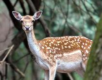 New Forest Deer von Jennie Franklin