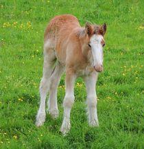 Foal Shire Horse von John McCoubrey