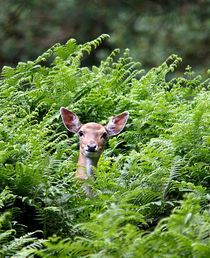 Hiding Deer von Jennie Franklin