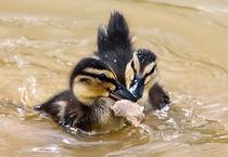 Ducklings fighting over a piece of bread! von Jennie Franklin
