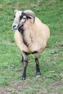 Wildschaf mouflon sheep (Ovis orientalis musimon) von hadot