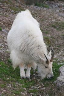 Schneeziege  Mountain Goat by hadot