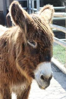 Esel  Donkey von hadot