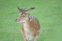 Damhirsch-Bulle  Fallow Deer-bull by hadot