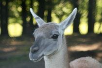 Lama (Lama glama) von hadot