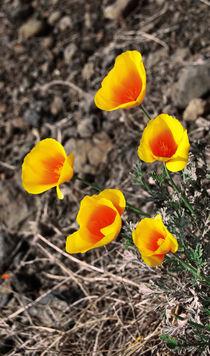 California Poppy  von Lina Shidlovskaya