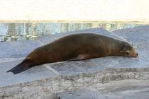 Müde Robbe Tired seal von hadot