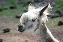Alpaka Alpaca (Lama pacos) von hadot
