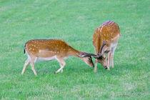 Damhirsch  Fallow deer by hadot