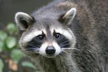 Waschbär Porträt   Raccoon Portrait von hadot