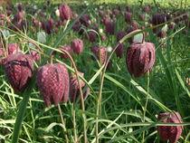 Schachblumen von sumsevieh