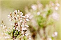 Calluna vulgaris von Kristiina  Hillerström