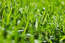 Green Grass Close-up by olgasart