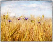 Getreidefeld in der Abendsonne von Frank Wöllnitz
