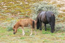Fohlen mit Stute  Mare with foal by hadot