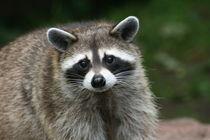 Waschbär Porträt   Raccoon Portrait III von hadot