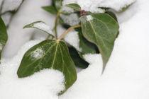 Efeublätter  Ivy leaves von hadot