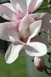 Magnolienblüte  Magnoliaflower von hadot