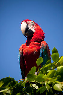 Scarlet Macaw by dreamtours