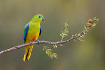 Orange-bellied Parrot by bia-birdimagency