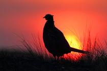 Ring-necked Pheasant by bia-birdimagency