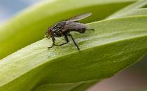 graue Fleischfliege, Sarcophaga carnaria, Camouflaged flesh fly von duesseldorf-foto