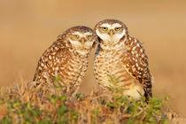 Burrowing Owl by bia-birdimagency
