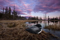 Great Northern Loon by bia-birdimagency