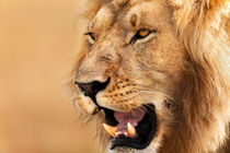Lion portrait, Masai Mara by Maggy Meyer