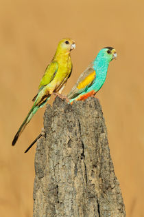 Golden-shouldered Parrot by bia-birdimagency