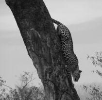 Leopard in black & white by Daniela  Skrzypczak