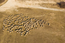 Sheeps from the sky von Gabor Pocza