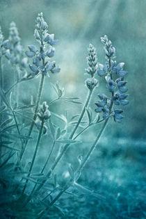 Blauelupinehoch
