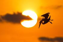 Brown Pelican von bia-birdimagency