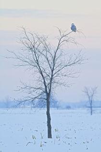 Snowy Owl von bia-birdimagency