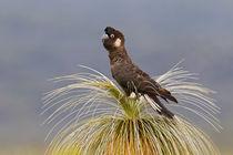 Short-billed Black Cockatoo von bia-birdimagency