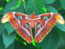 Riesiger exotischer Schmetterling von Mellieha Zacharias